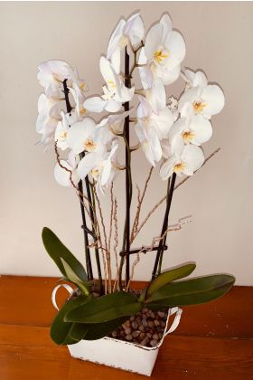 Phalenopsis Garden Antique